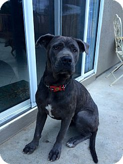 Mastiff/American Staffordshire Terrier Mix Dog for adoption in Long Beach, California - Isabelle
