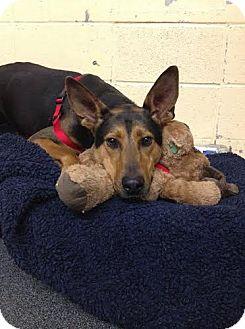 Doberman Pinscher Mix Dog for adoption in Asheville, North Carolina - Travis