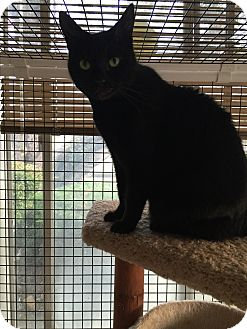 Domestic Shorthair Cat for adoption in Brea, California - BEAUTY