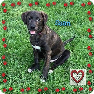 Labrador Retriever/Plott Hound Mix Puppy for adoption in Elgin, Illinois - Sean