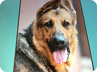 German Shepherd Dog Dog for adoption in Los Angeles, California - FANTA VON FRITZLAR