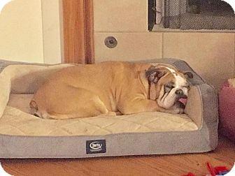 English Bulldog Dog for adoption in Park Ridge, Illinois - Penelope