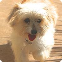 Adopt A Pet :: Gavin - Norwalk, CT