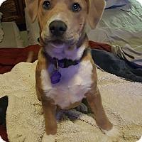 Adopt A Pet :: Cheyenne - Van Alstyne, TX