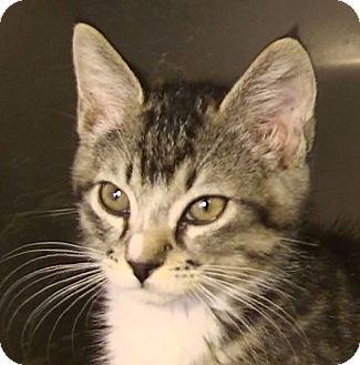 Domestic Shorthair Kitten for adoption in El Cajon, California - Jonny