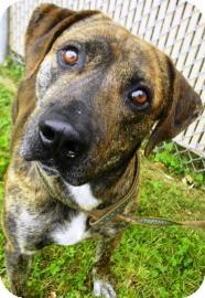 Terrier (Unknown Type, Medium)/Plott Hound Mix Dog for adoption in Lincolnton, North Carolina - Buddy