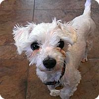 Adopt A Pet :: Little Man - Denver, CO