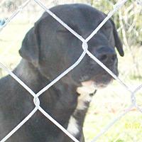 Labrador Retriever/Catahoula Leopard Dog Mix Dog for adoption in Mexia, Texas - Wyatt