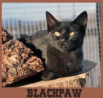 Domestic Shorthair Cat for adoption in Alamogordo, New Mexico - BLACKPAW