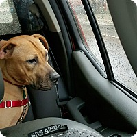 Adopt A Pet :: Sheba - Brooklyn, NY