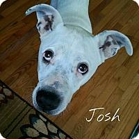 Adopt A Pet :: Josh - Fountain Inn, SC