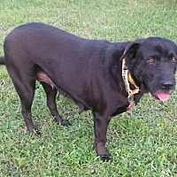 Labrador Retriever/Shar Pei Mix Dog for adoption in Royal Palm Beach, Florida - Amity