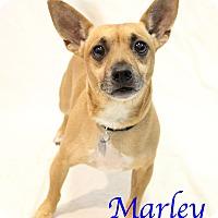 Adopt A Pet :: Marley - Bradenton, FL