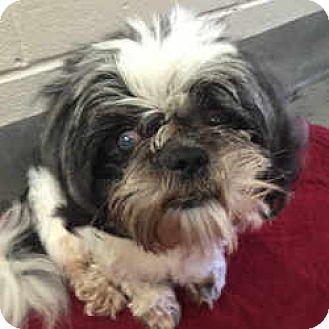 Shih Tzu Dog for adoption in Huntingdon Valley, Pennsylvania - Cedric