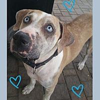 Adopt A Pet :: Blue - Spring, TX