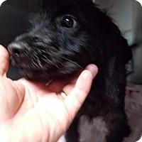 Labrador Retriever/Poodle (Standard) Mix Dog for adoption in Fort Worth, Texas - Sadie