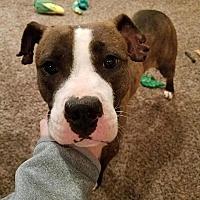 Adopt A Pet :: Gracie - Bear, DE