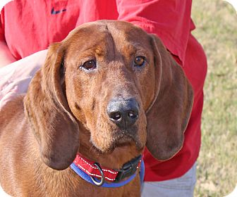 Redbone Coonhound Mix Dog for adoption in kennebunkport, Maine - Hank - in Maine