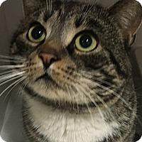 Adopt A Pet :: Meatball - Goshen, NY