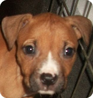 American Pit Bull Terrier Mix Puppy for adoption in Holmes Beach, Florida - Fabio