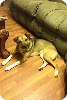 Basenji Mix Dog for adoption in Hagerstown, Maryland - SugarBaby