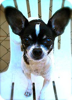 Chihuahua Dog for adoption in El Cajon, California - Leo
