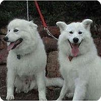 Adopt A Pet :: Guerro - Arvada, CO