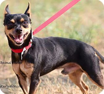 Chihuahua/Rat Terrier Mix Dog for adoption in Kingsland, Texas - Tiny