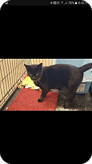 Domestic Shorthair Cat for adoption in Ortonville, Michigan - Lulu