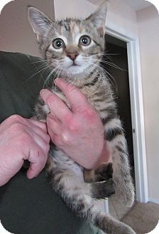Domestic Shorthair Kitten for adoption in Rochester, Minnesota - Lucy
