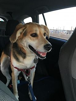 Shepherd (Unknown Type)/Beagle Mix Dog for adoption in Willingboro, New Jersey - Luna