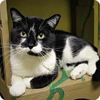 Adopt A Pet :: Sylvester - West Des Moines, IA