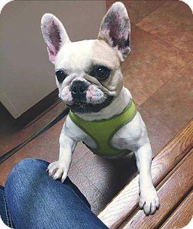 French Bulldog Mix Dog for adoption in Livonia, Michigan - Darla Bri