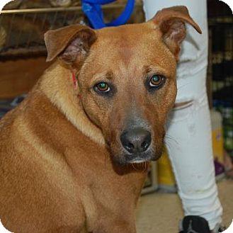 Labrador Retriever/Retriever (Unknown Type) Mix Dog for adoption in Brooklyn, New York - Little Bit