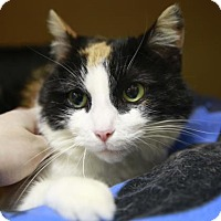 Adopt A Pet :: Polly Patches - Kettering, OH