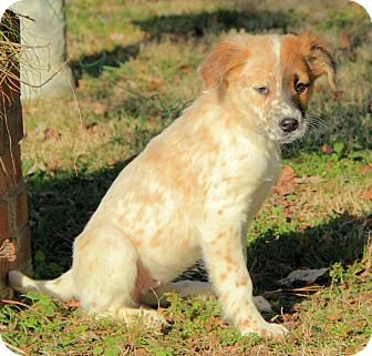 Australian Shepherd/English Setter Mix Puppy for adoption in Windham, New Hampshire - Lizzy