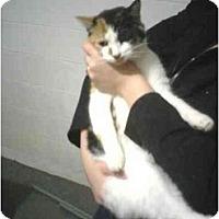 Adopt A Pet :: Calico - Alliance, OH