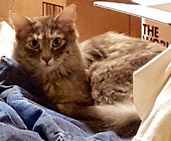 Domestic Mediumhair Cat for adoption in Tucson, Arizona - Makani