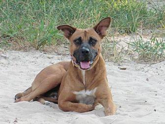 Boxer/Labrador Retriever Mix Dog for adoption in San Antonio, Texas - Rusty