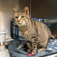 Domestic Shorthair Cat for adoption in Beacon, New York - Molly