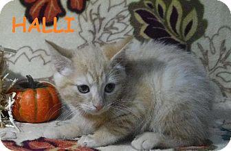 Domestic Shorthair Kitten for adoption in Batesville, Arkansas - Halli