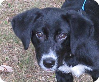 Labrador Retriever/Border Collie Mix Puppy for adoption in Plainfield, Connecticut - Palmer