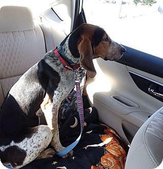 Bluetick Coonhound Mix Dog for adoption in Huntsville, Alabama - Fancy