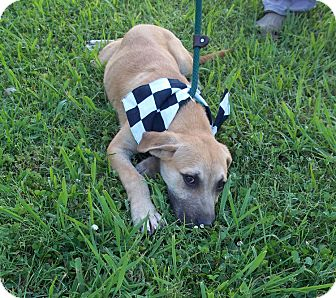 Black Mouth Cur/Labrador Retriever Mix Puppy for adoption in Glastonbury, Connecticut - BUCKLES/Special Summer Pricing