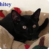 Adopt A Pet :: WHITEY, BLACKY, & INKY - Hamilton, NJ