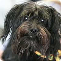 Adopt A Pet :: Chanel - Canoga Park, CA