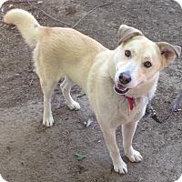 Adopt A Pet :: MAYA - Van Nuys, CA