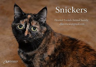 Domestic Shorthair Cat for adoption in Ortonville, Michigan - Snickers