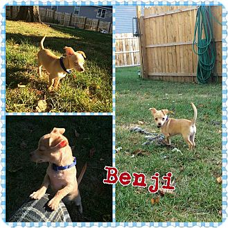 Chihuahua/Terrier (Unknown Type, Small) Mix Puppy for adoption in bridgeport, Connecticut - Benji