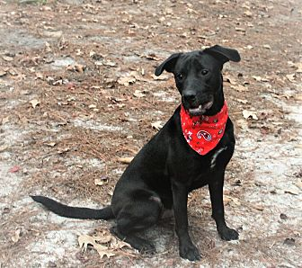 Labrador Retriever Mix Dog for adoption in Jesup, Georgia - Kody